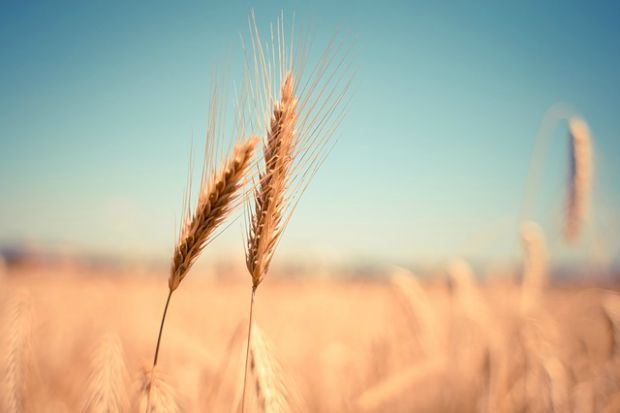 wheat glyphosate
